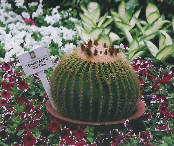 Cacti plant at Lalbagh