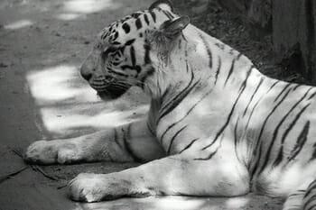 White Tiger at Bannerghata Safari