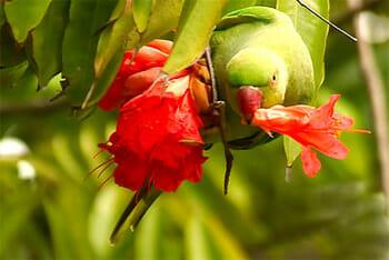 Parakeet feeding on the Brownea tree's flower, Lalbagh, Bengaluru