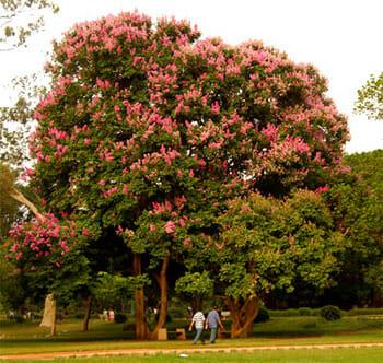 Jarul (Pride of India) Tree, Lalbagh, Bengalooru