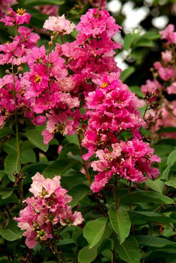 Jarul (Pride of India) Tree flowers, Lalbagh, Bangalore