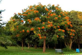 Colville's Glory tree, Lalbagh, Bengalooru