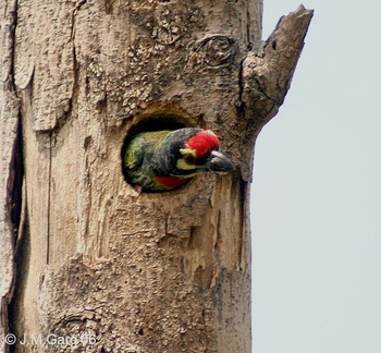 Coppersmith Barbet. Pic: Wikimedia Commons
