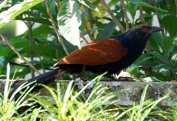 Crow Pheasant. Pic: Wikimedia Commons