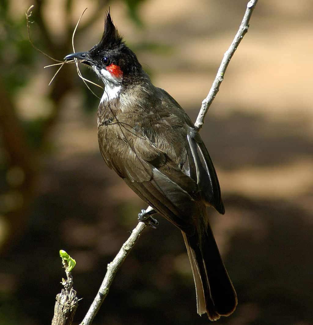 Red-whiskered Bulbul. Pic: Wikimedia Commons