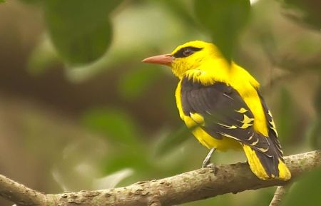 The elusive Golden Oriole on a Peepul Tree, at Lalbagh Gardens.
