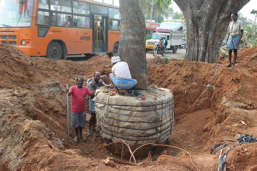 Root ball prepared and packed, at a tree transplantation in Dommasandra-Sarjapura road, 2017