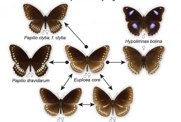 Mimicry Rings