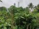 Thriving mini urban forests amidst Bengaluru's IT park. Pic: Manyata Residency VrikshaMitra Group