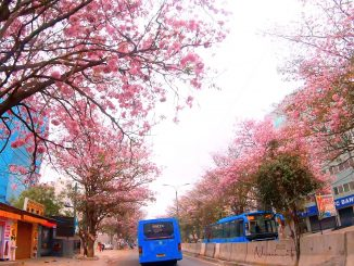 The Tabebuia Rosea trees in full bloom on Outer Ring Road. Pic: Naveen Thomas Prasad