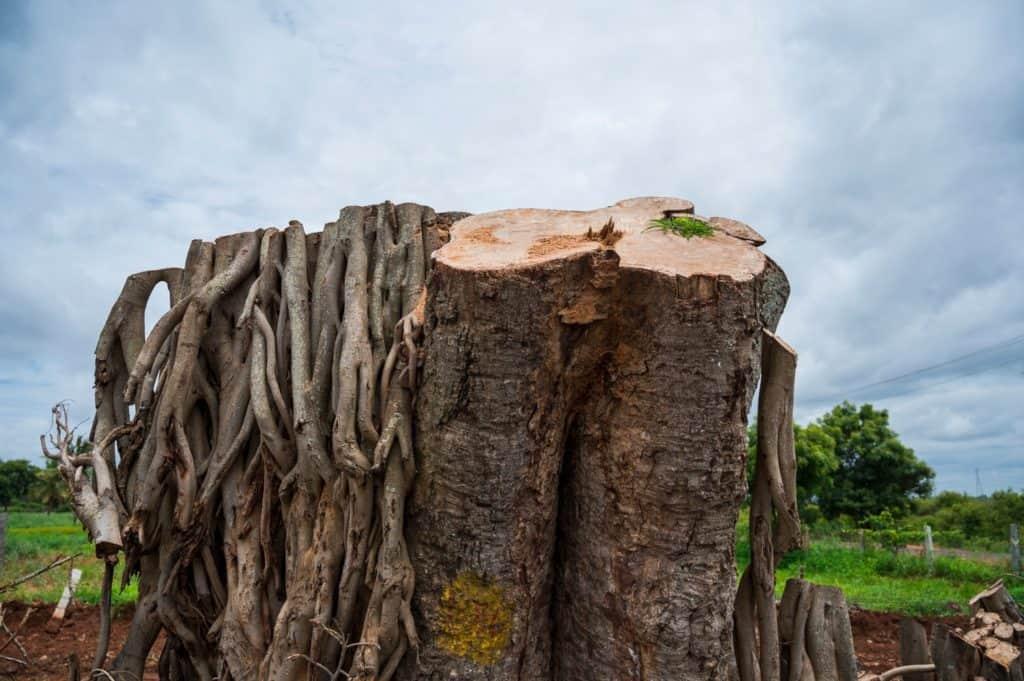 One of the ficus trees cut along Neelamangala-Madhure road PIC: Mahesh Bhat