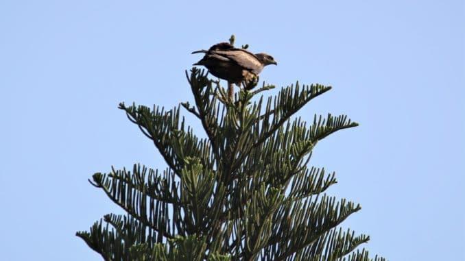 kite bird rescue
