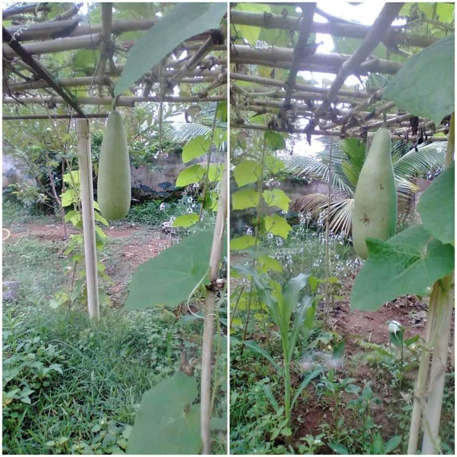 Bottle gourd climbing plant in the garden