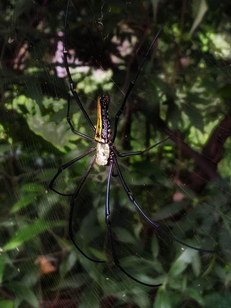 Giant wood spider at Mallathahalli Lake