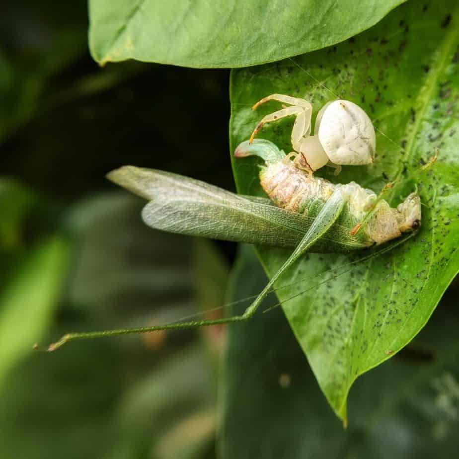 Crab spider feeding on a bush cricket