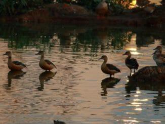 Lesser whistling ducks at Mallathahalli Lake