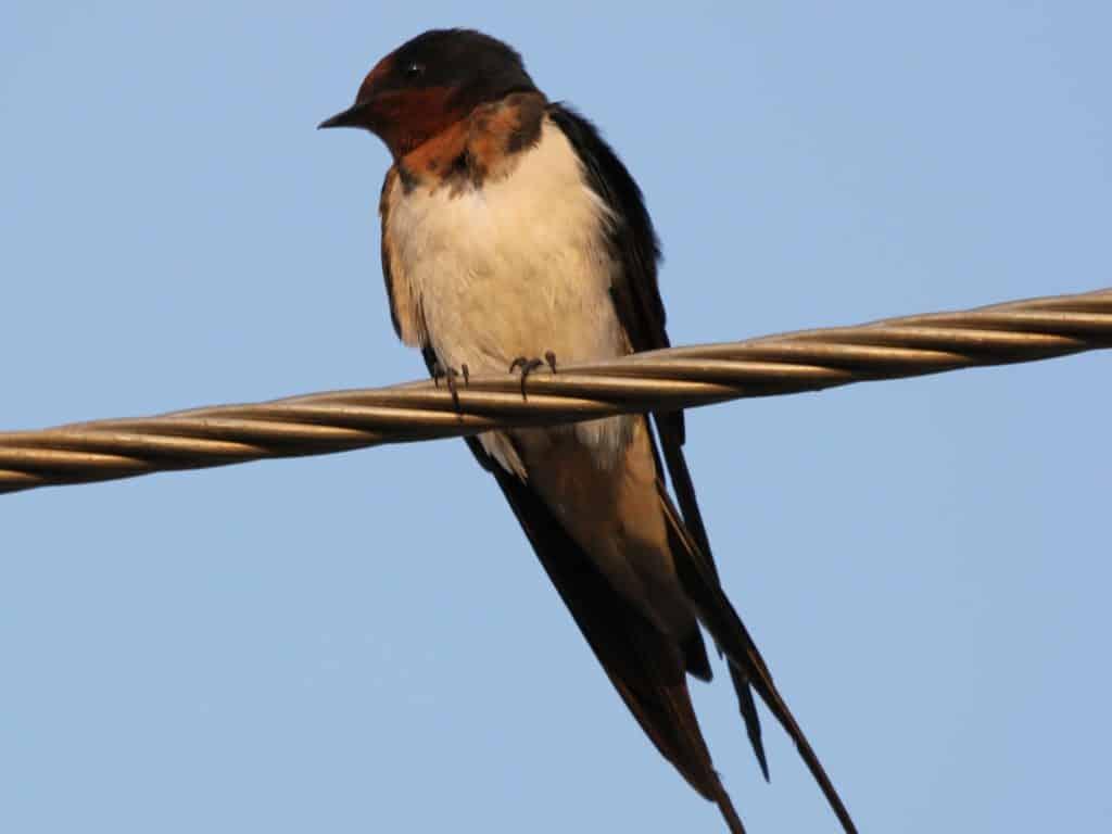 Barn Swallow at Mallathahalli Lake