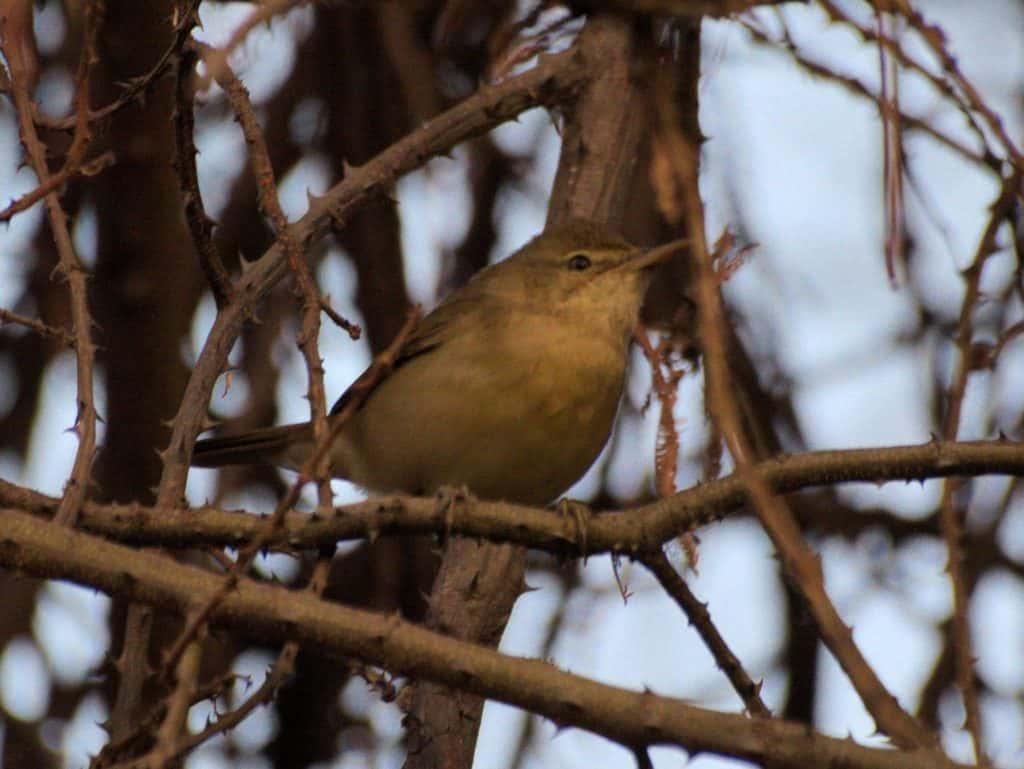 Blythe's reed warbler