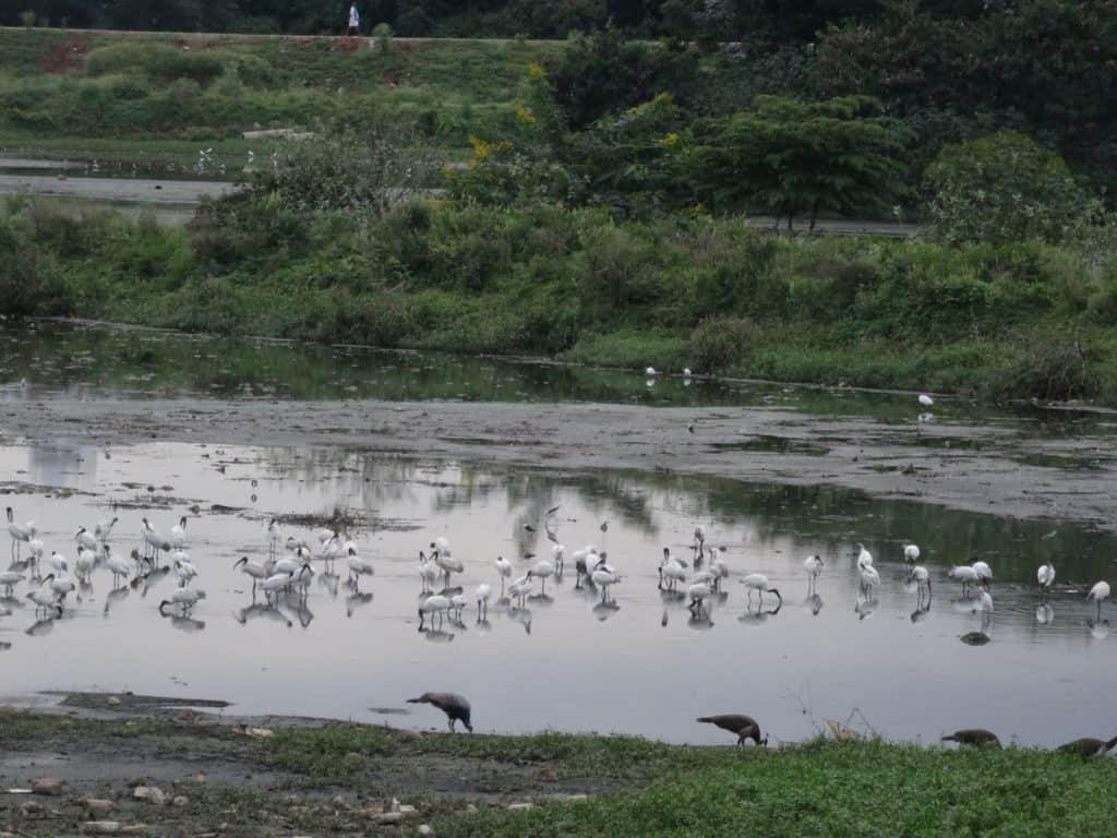 Black-headed ibis and peafowl at Malathahalli Lake