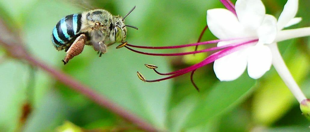 Banded Digger Bee