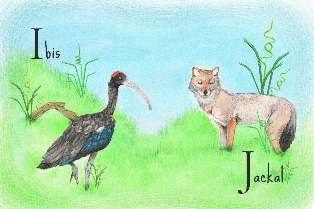 ibis and jackal