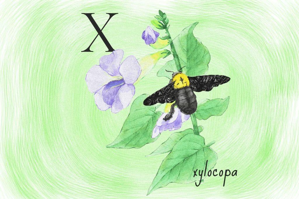 xylocopa