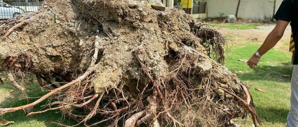 fallen tree in Mumbai