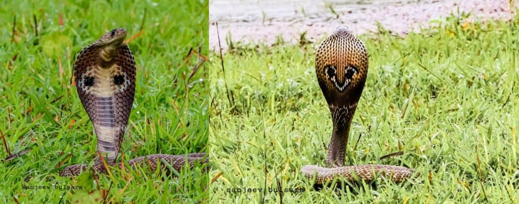 Spectacled cobra - front and back