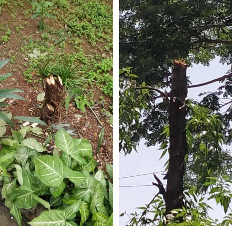 poorly pruned tree