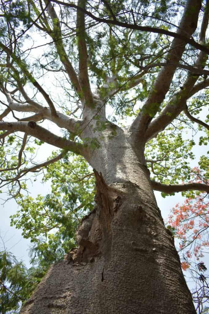 About 120 Baobab trees exist in Mumbai currently.