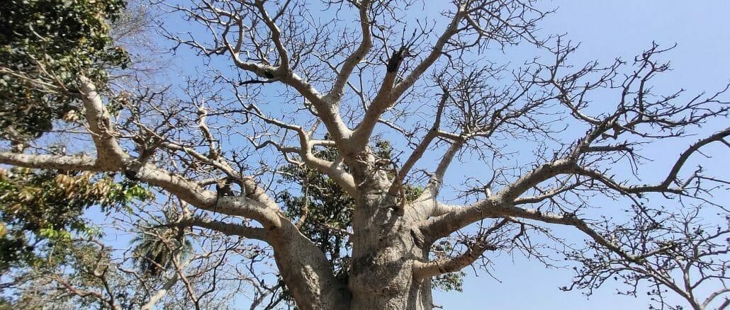 Baobab trees in Mumbai