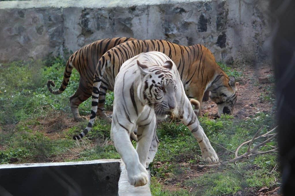 vandalur zoo chennai