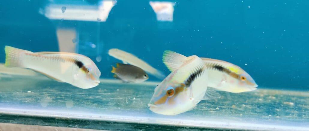 aquatic fish varieties