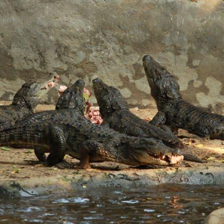Baby muggers, Crocodile Bank, Chennai