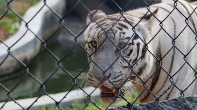 white tiger in Vandalur Zoo Chennai