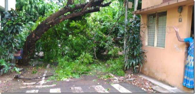 tree fall in chennai
